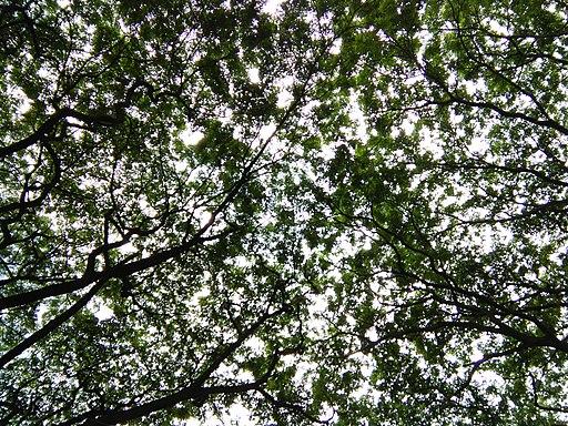 Bangalore Sanjay nagar street trees 5