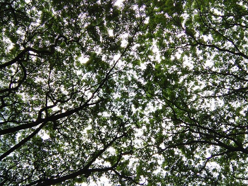 File:Bangalore Sanjay nagar street trees 5.jpg