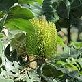 Banksia grandis-IMG 0176.jpg