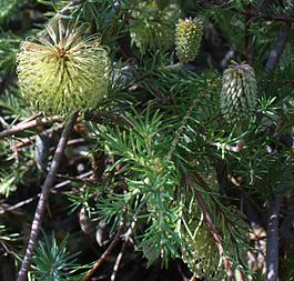 Banksia laricina inflorescences and foliage.jpg