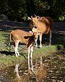 Banteng Tierpark Hellabrunn-13.jpg