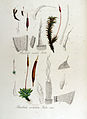 Barbula ruralis — Flora Batava — Volume v13.jpg