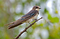 Barn Swallow (Hirundo rustica) non breeding plumage (15841936933).jpg