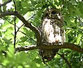 Barred Owl at Willmore Park (47890599901).jpg