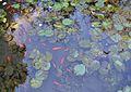 Bassa amb peixos i nenúfars, jardí botànic de València.JPG