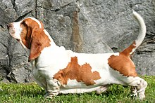 BassetHound profil.jpg