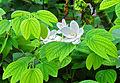 Bauhinia acuminata 24 08 2012 02.JPG
