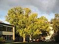 Baum an der Außenstelle Goetheschule - panoramio.jpg