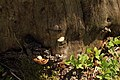 Baumstumpf mit Striegelige Tramete Trametes hirsuta 3578.jpg