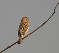 Baya Weaver (Ploceus philippinus) W IMG 4926.jpg