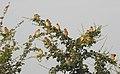 Baya Weaver Ploceus philippinus by Dr. Raju Kasambe DSCN0233 (11).jpg