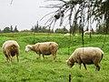 Beaumont-Hamel moutons dans tranchées 1.jpg