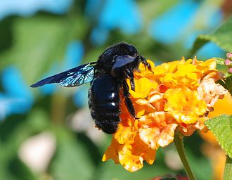 Apidae - Xylocopa violacea—a subfamily Xylocopinae carpenter bee, on flower.