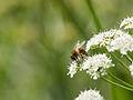Bee on flower (14191163187).jpg