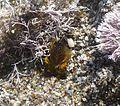 Beewolf. Philanthus triangulum. Burying body of Honeybee in it's nest hole - Flickr - gailhampshire.jpg