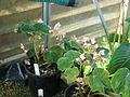Begonia labordei (20954099934).jpg