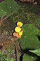 Begonia mildbraedii (Begoniaceae) (24335574242).jpg