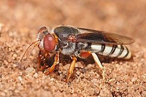 Crabronidae - Sand wasp in its habitat, Dar es Salaam, Tanzania