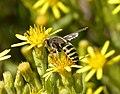 Bembix species, female (32657131703).jpg