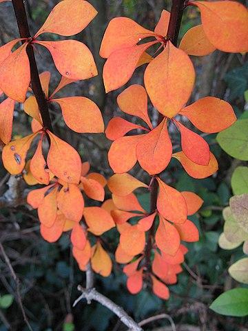 Berberis thunbergii, fall color