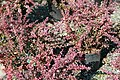 Berberis thunbergii var. Atropurpurea Rose Glow 2zz.jpg