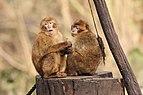 Berlin Tierpark Friedrichsfelde 12-2015 img06 Barbary macaque.jpg