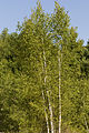 Betula verrucosa sabliere-morriere-plailly 60 01072008 01.jpg