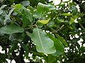 Bhilamo (Gujarati- ભિલામો) (3757736750).jpg