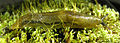 Bielzia coerulans 5.jpg
