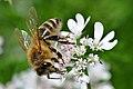 Biene auf Koriander 003.jpg