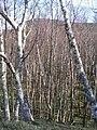 Birch Woodland - geograph.org.uk - 404164.jpg
