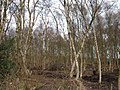 Birch coppice - geograph.org.uk - 155531.jpg