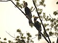 Bird Great Hornbill Buceros bicornis pair 04.jpg