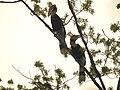 Bird Great Hornbill Buceros bicornis pair 04.jpg