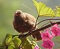 Birds from Ezhimala DSCN7057.jpg