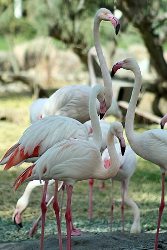 Greater flamingos (Phoenicopterus roseus) are native to Bahrain. Birds in Al-Areen Wildlife Park.jpg