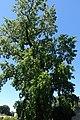 Biscainhos Garden - Tulipeiro da Virgínia (1).jpg