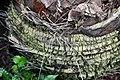 Bismarckia nobilis 16zz.jpg