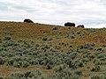 Bison in Hot Springs State Park - panoramio.jpg