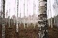 Bjørkeskog i Krabyskogen 27-10-19.jpg