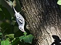 Black-and-white Warbler (44057951445).jpg
