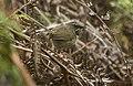Black-throated Prinia - Eaglenest - Arunachal Pradesh - India FJ0A1375 (33521171214) (cropped).jpg