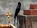 Black Drongo at Madhurawada 08.JPG