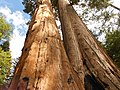 Black Mountain Sequoia Grove The Wishbone Tree.jpg