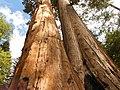 Black Mountain Sequoia Grove The Wishbone Tree.jpg