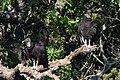 Black Vulture Kerr WMA Kerrville TX 2018-05-06 07-44-03 (41791206950).jpg