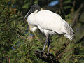 Black headed Ibis I IMG 8521.jpg