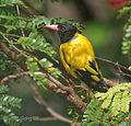 Black hooded Oriole I IMG 5522.jpg