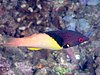 Blackbelt hogfish (Bodianus mesothorax) (49000935193).jpg