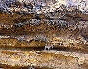 Blackbuck1-Kirthar National Park